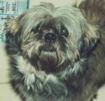Koko - little brown Shih Tzu